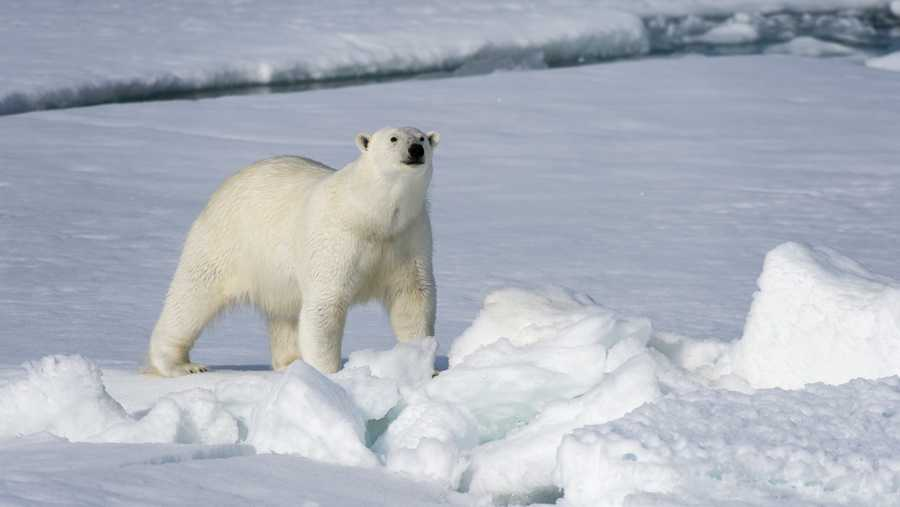 File photo: Polar bear