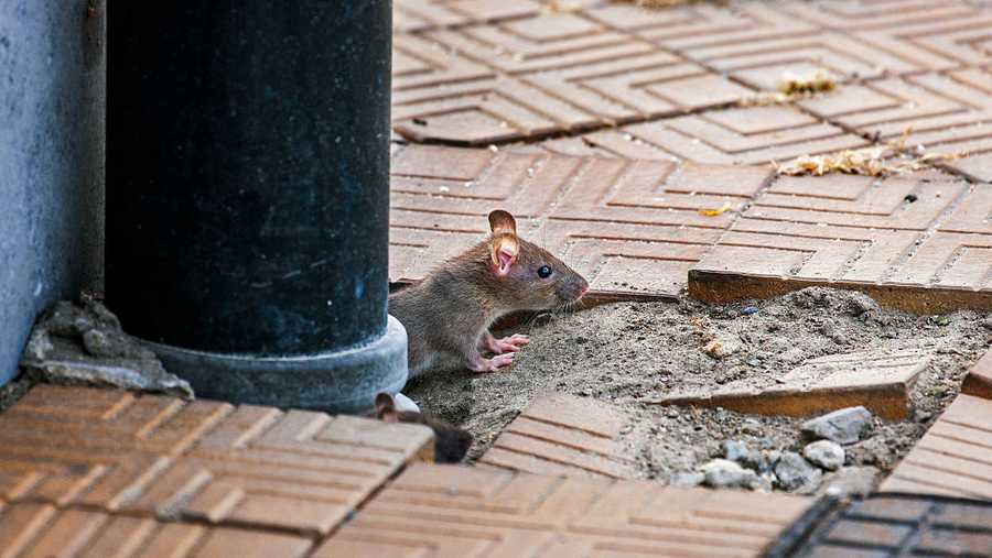 a rat emerges from a drainpipe