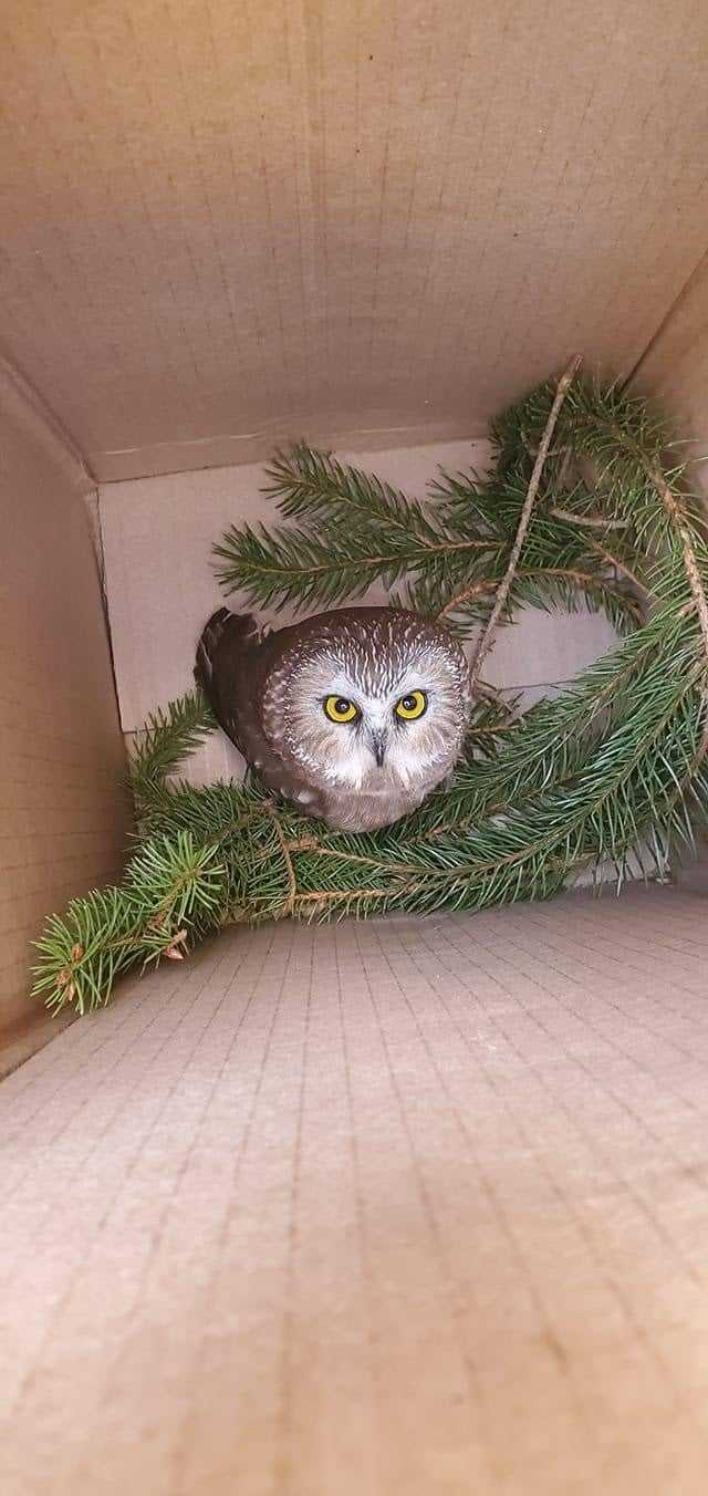 An employee for the company in charge of transporting the Rockefeller tree found the Saw-whet owl inside and thought it was a baby.  This is the box he was in when the wildlife center found him.
