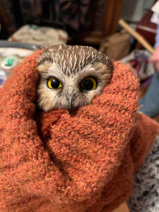 The little owl had been in the tree when it was being transported and was rescued by a worker with the company transporting the tree.  He's now at the Ravensbeard Wildlife Center in Saugerties, NY.