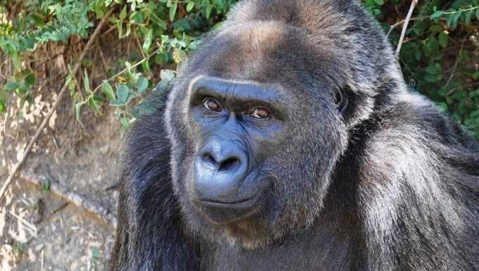 "Trudy was the oldest living western lowland gorilla in a zoo, and she was one of the last ""wild caught"" gorillas. At the age of 63, she has died in Arkansas."