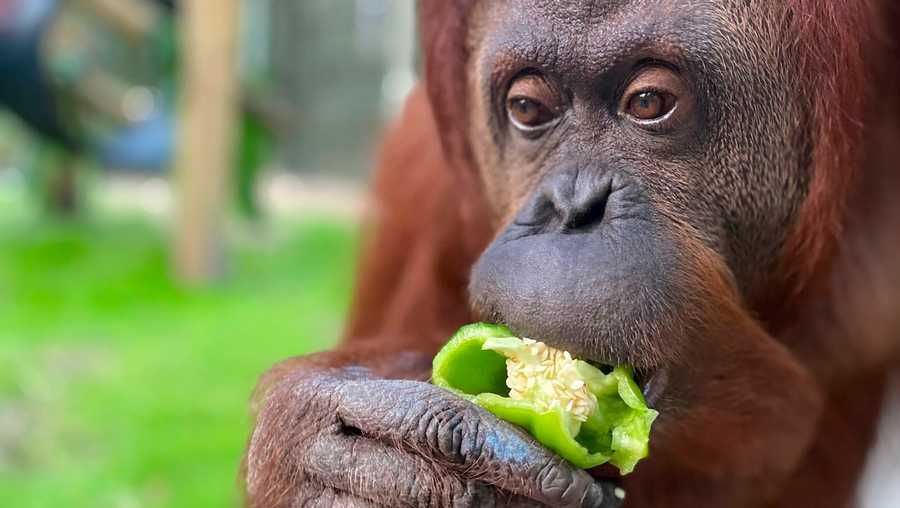 Sandra, a 33-year old orangutan settling into her new home at the Center for Great Apes in Florida.