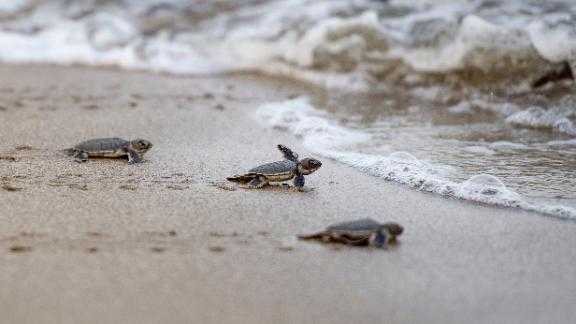 Baby sea turtles interrupt fireworks show thumbnail