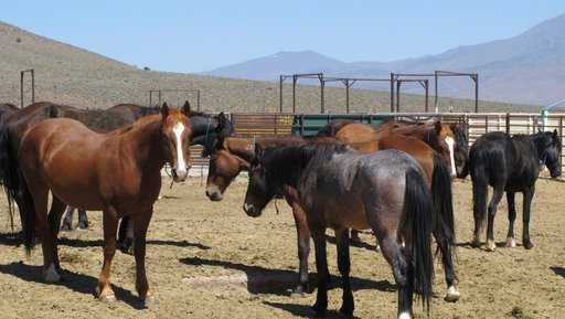 In this May 25, 2017, file photo, wild horses that were captured from U.S. rangeland stand stand in a holding pen, at the U.S. Bureau of Land Management's Wild Horse and Burro Center in Palomino Valley about 20 miles north of Reno, Nev.