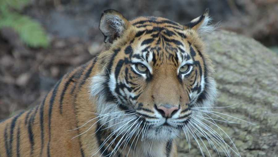 An endangered Sumatran tiger was mauled to death at London Zoo