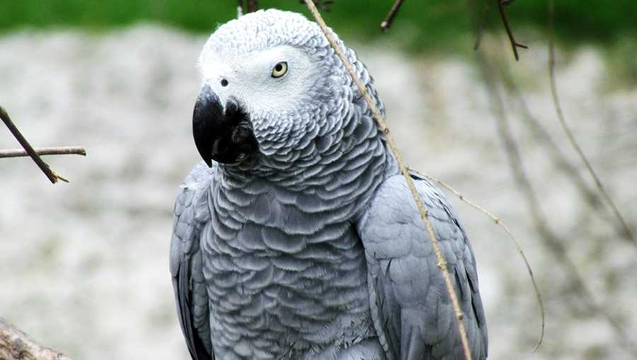 An African Grey Parrot is seen at a waterfowl park in North Carolina.