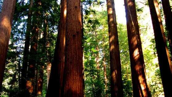 Ancient Redwood Grove Saved