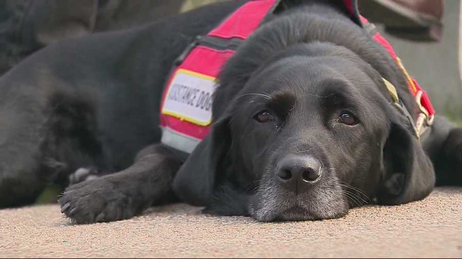 Confusion about service dogs remains.