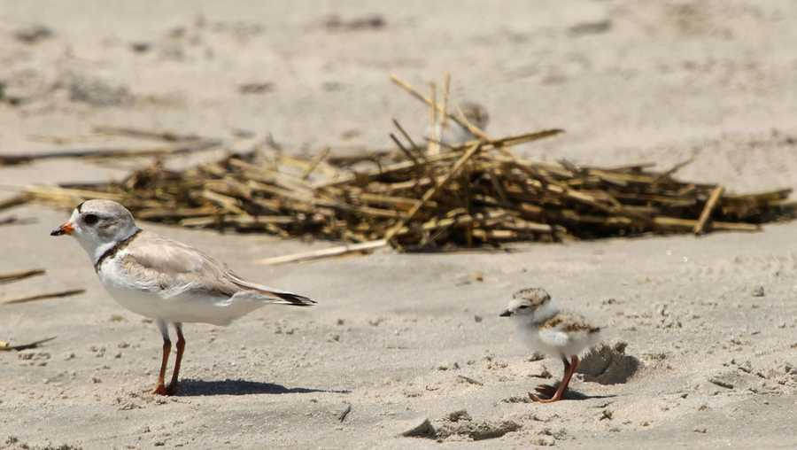 Piping plover chick with adult