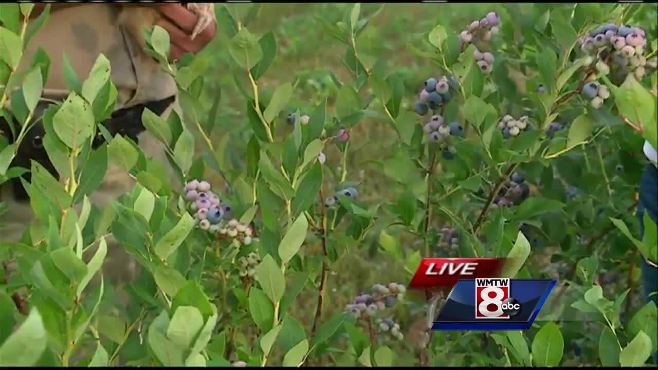 If you are craving a fresh blueberry pie or muffin, Maine's blueberry growers say right now is the best time to pick Maine's official berry. News 8's Courtney Sturgeon takes to Gorham for a look at the season ahead.